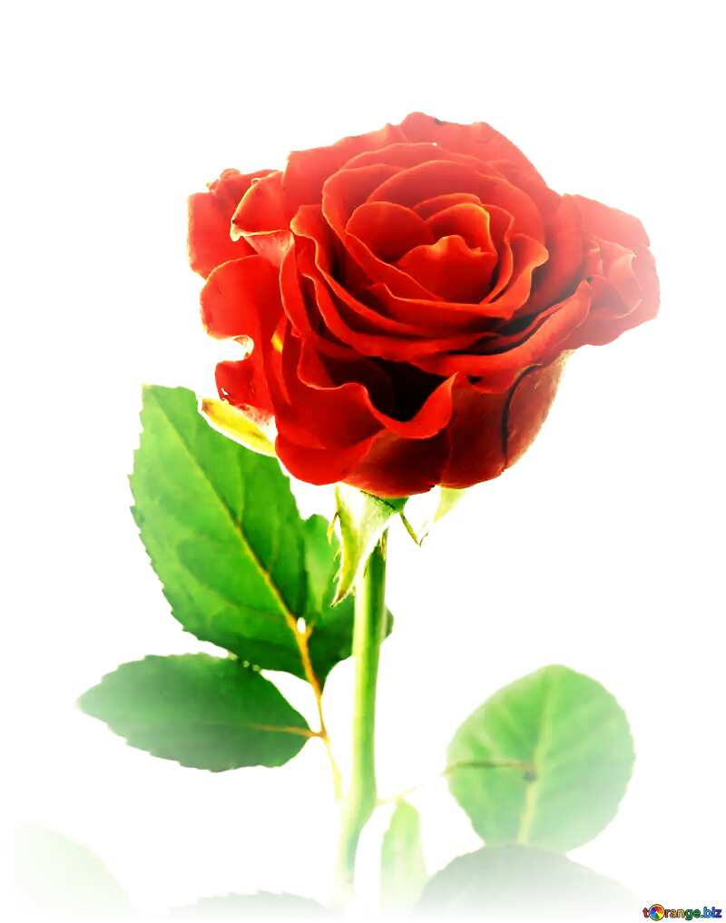 Beautiful red rose flower №17040