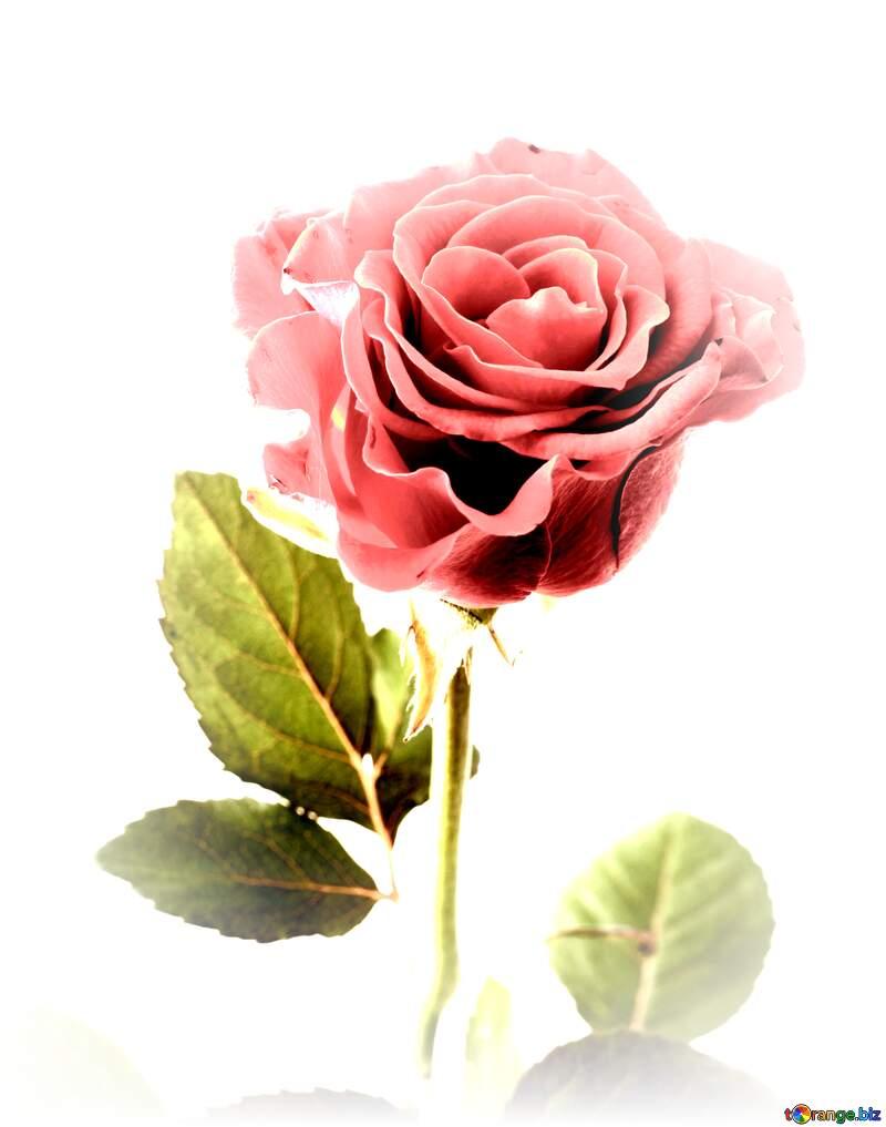 une rose avec un pétale en moins №17040