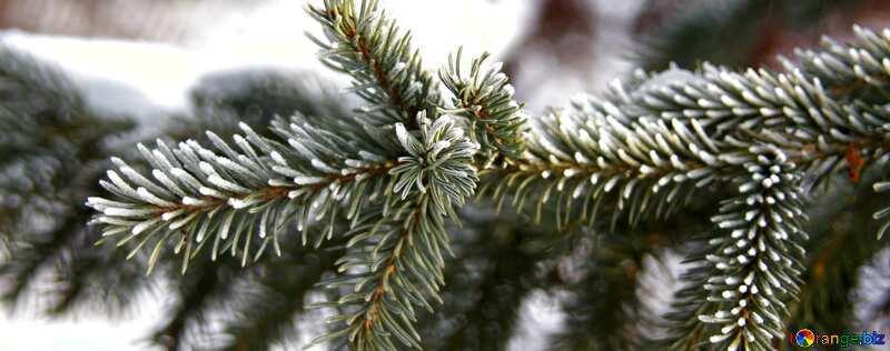 表紙 霜 の トウヒ 枝. №419