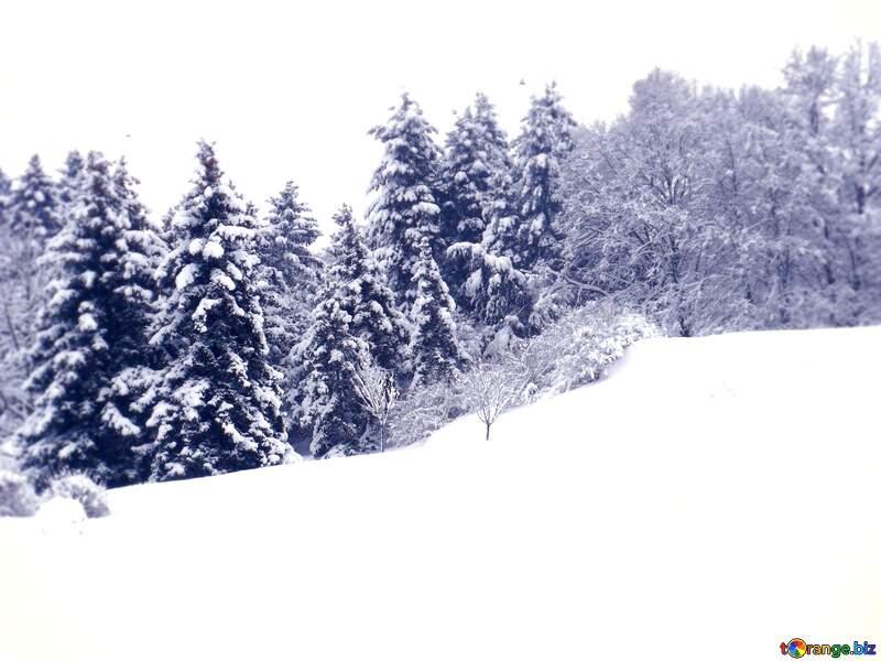 Son pinos en invierno con nieve №10496