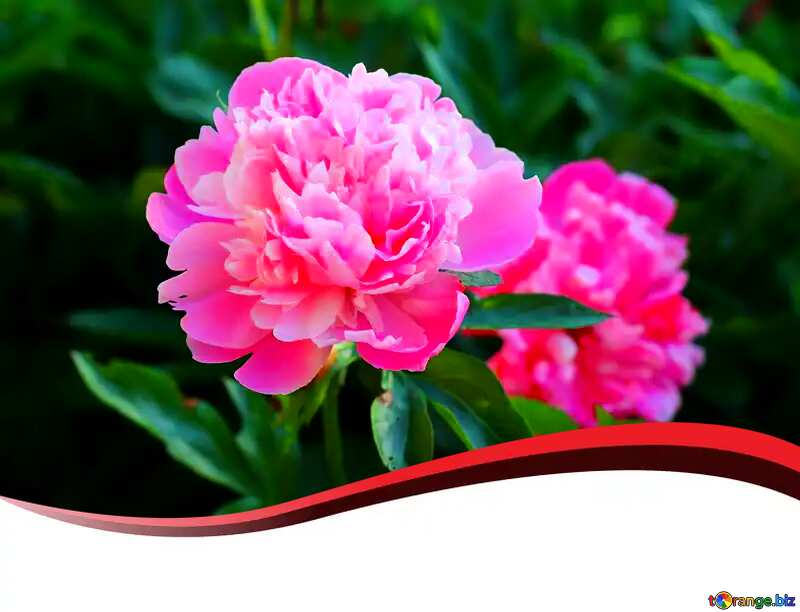 pink flowers card №32661