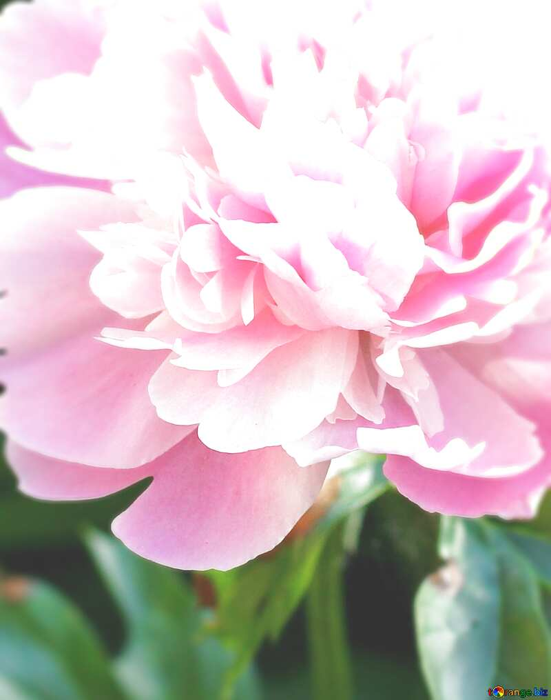 Peony flowers blur frame background №32661