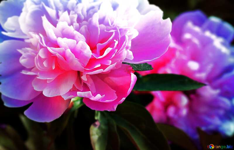 pink peony flowers №32661