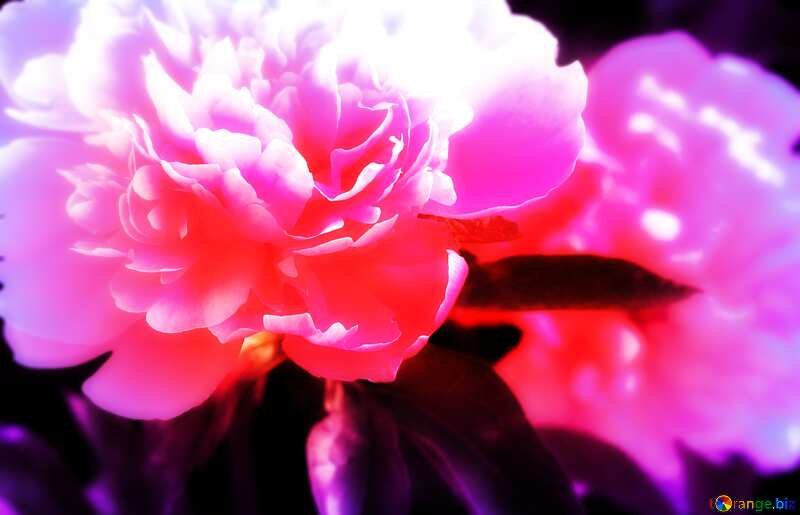 Peony flowers soft №32661