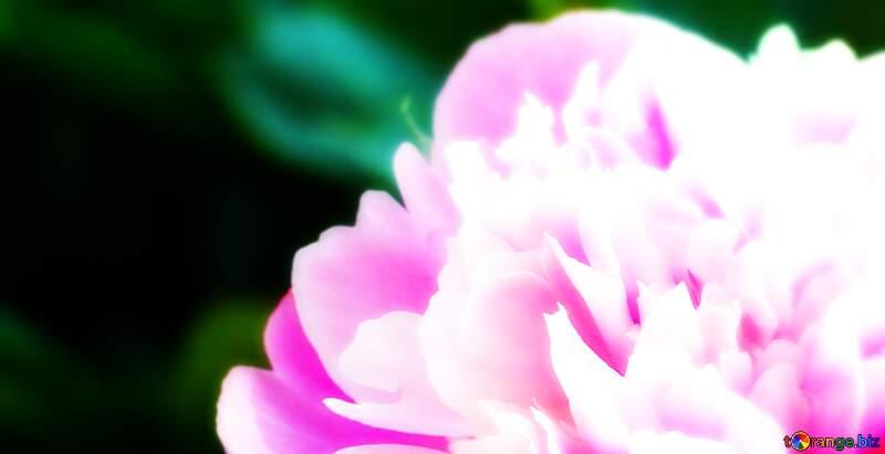 Peony flower №32661