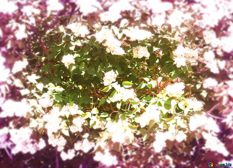 Blooming lilac background №4094