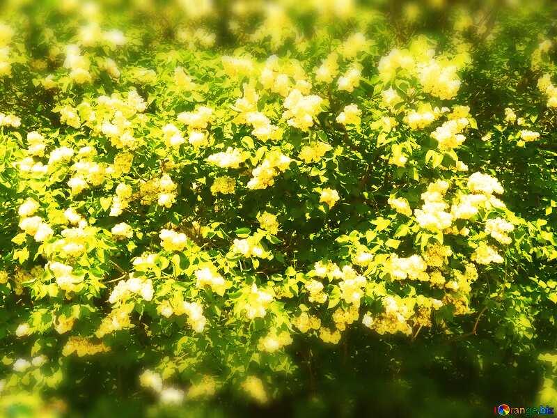Blooming bush blurring background №4094
