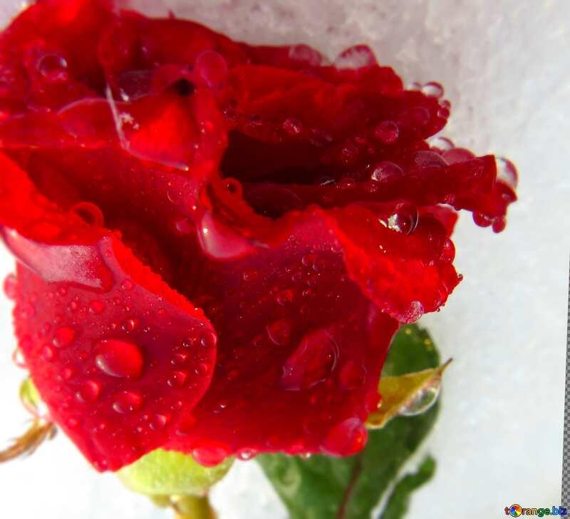 Самые красивые картинки роза бойлер эксплуатационные свойства