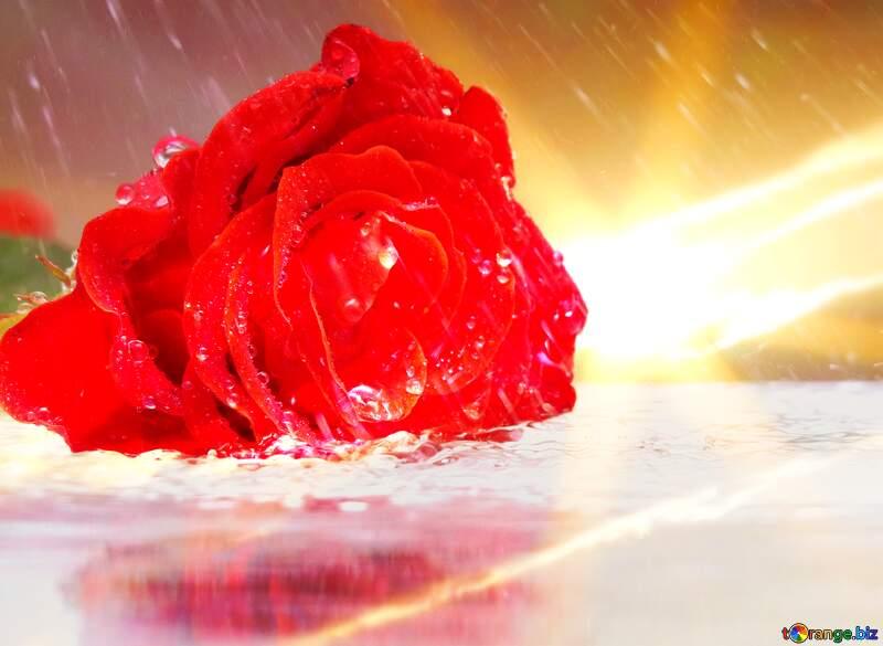 Sunset Rose rain №16903