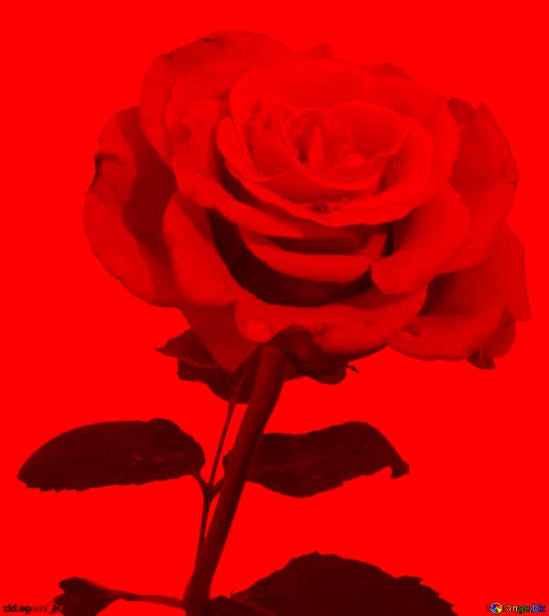 Red Rose card background №17090