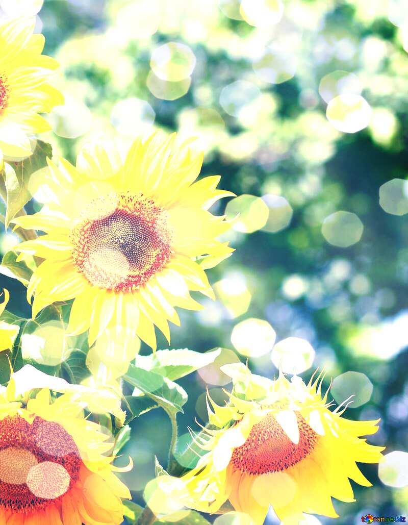 bouquet sunflowers bokeh card background №32700