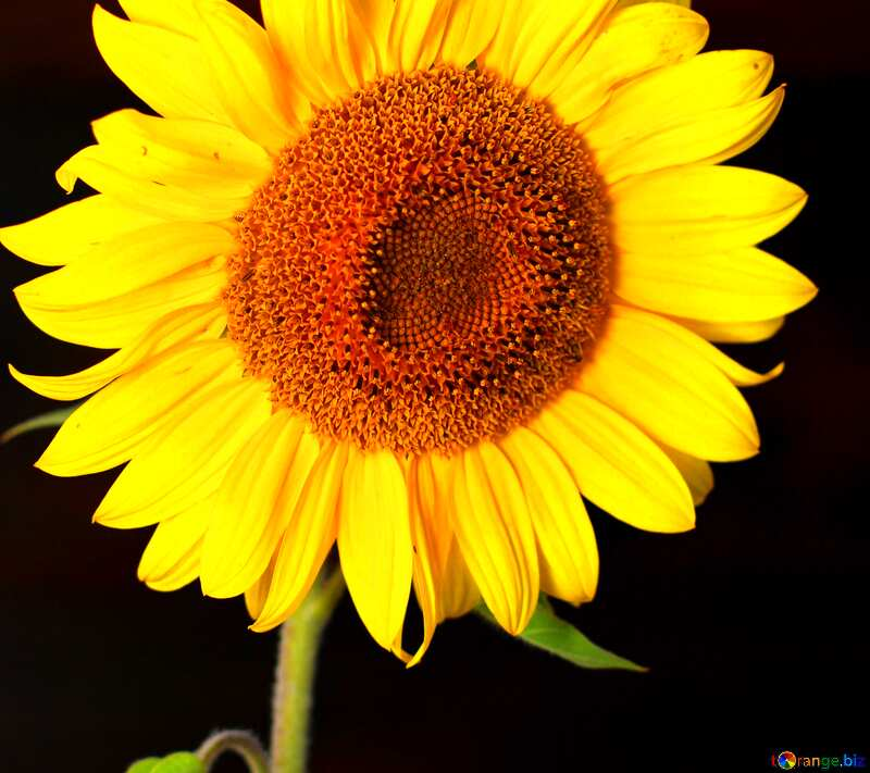 Обложка. Подсолнух цветок на черном фоне. №32797