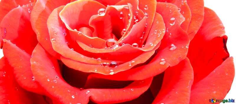 Обложка. Цветок розы белый фон. №17097