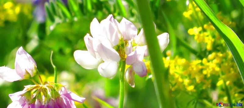 Обложка. Разноцветный дикий горошек цветки . №34385