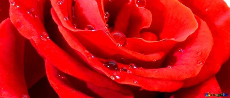 Обложка. Фон роза с каплями. №17091