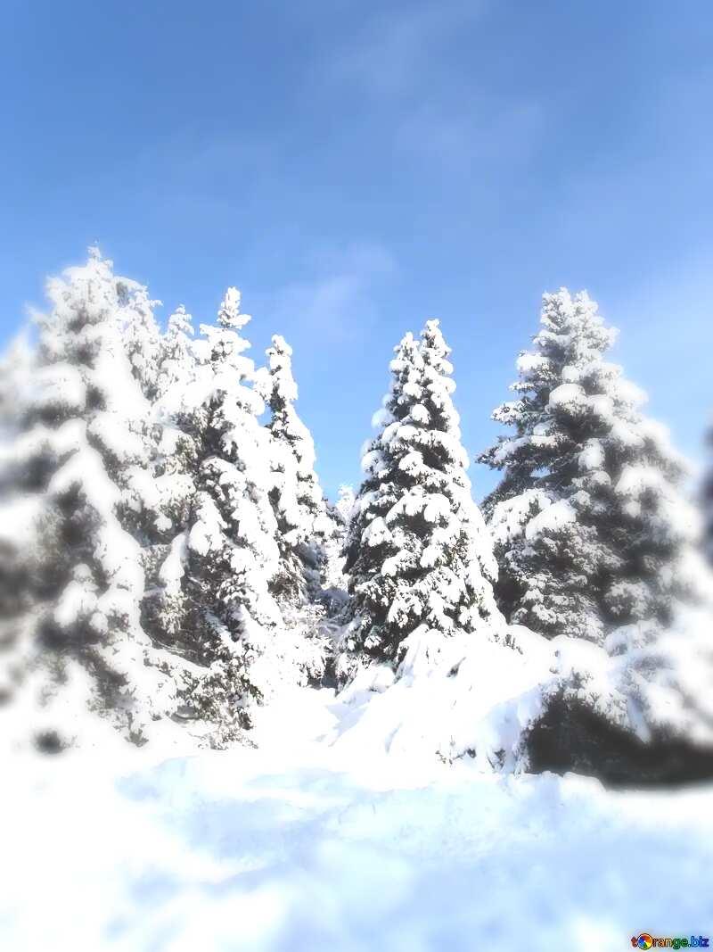 Christmas pine  Tree forest  Snow sun №10576