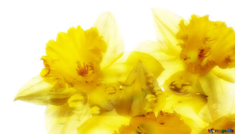 daffodils yellow flowers soft №30946