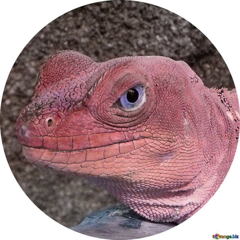 Lizard red Image for profile picture №10697