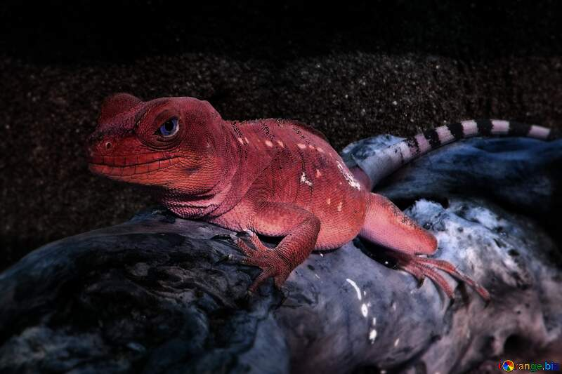 Red lizard №10697