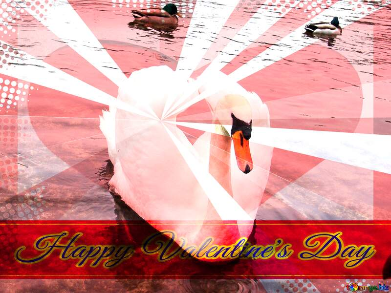White Swan folded its wings in the form of heart on the background of ducks. Greeting card retro style background Lettering Happy Valentine`s Day №385