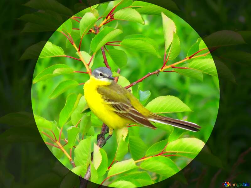 Yellow bird circle frame long tail №28274