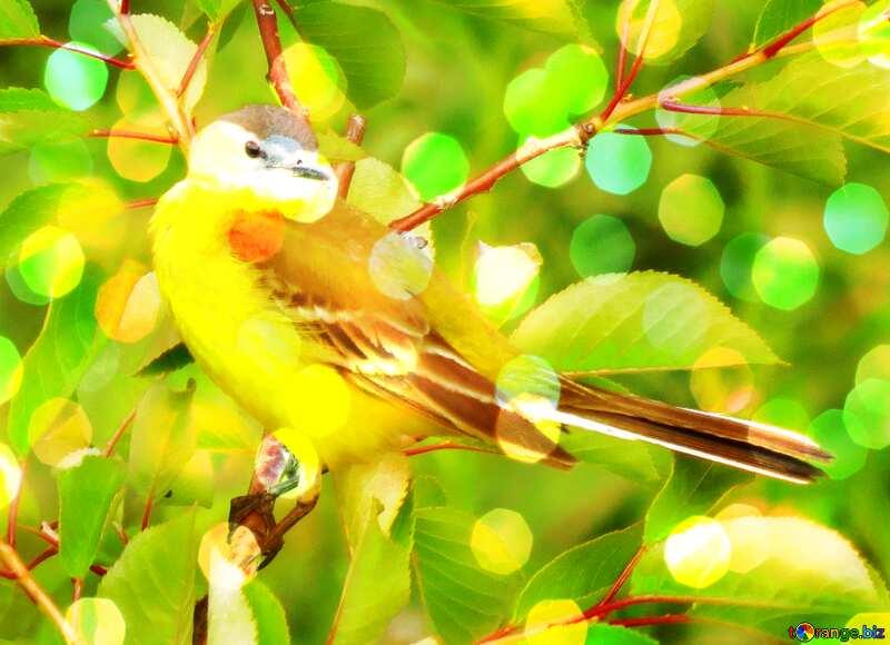 Background long tail Yellow bird №28274
