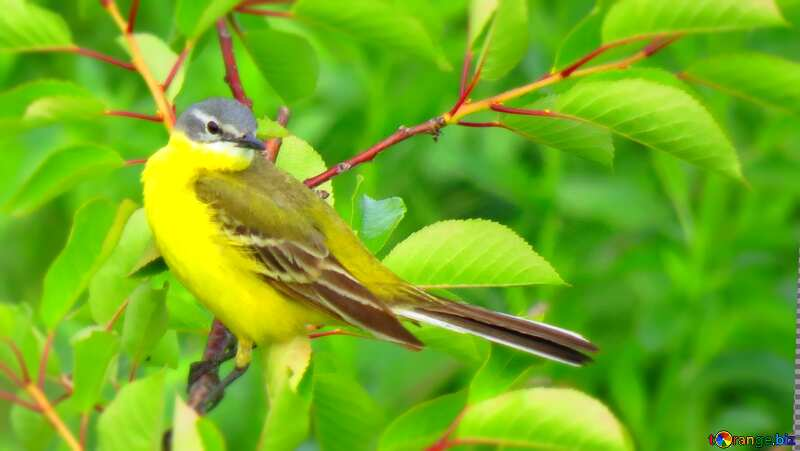 Yellow bird with long tail blur frame №28274