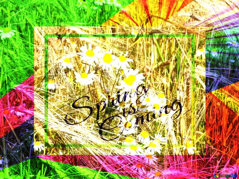 Chamomile flowers weeds template card frame with inscription Spring is Coming №32522
