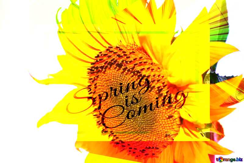 Flower of sunflower template card frame with inscription Spring is Coming №32770