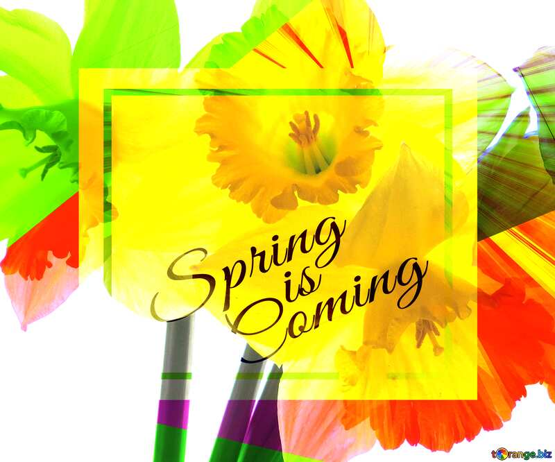 Flowers of daffodils template card frame with inscription Spring is Coming №30937