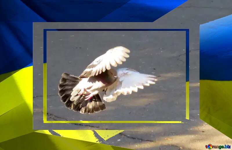 Pigeon flies Ukrainian Peace  Template Frame №42207