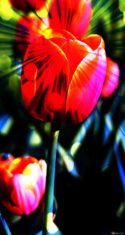 Red tulip Banner Background №1649