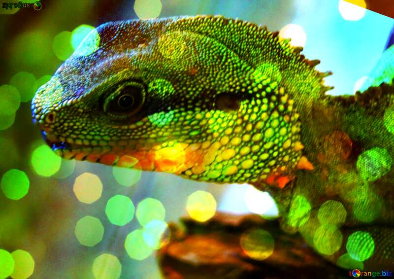 Water agama. bokeh background №10249