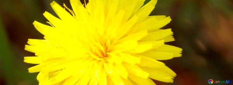 Cover. Dandelion yellow. №23056