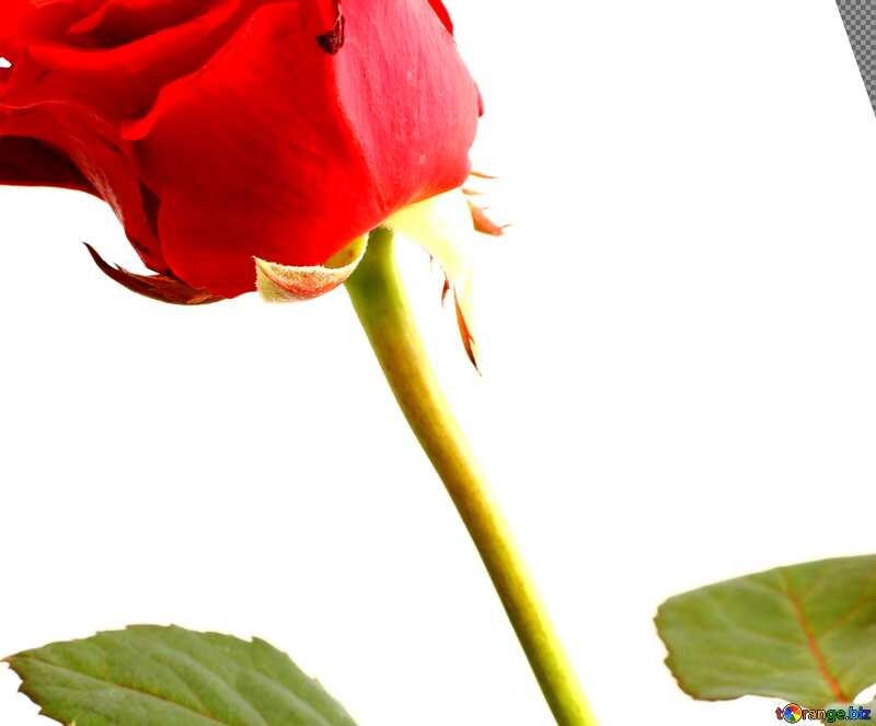 Cover. Flower red rose. №17044