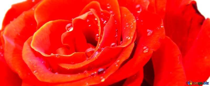 Cover. Rose flower white. №17097