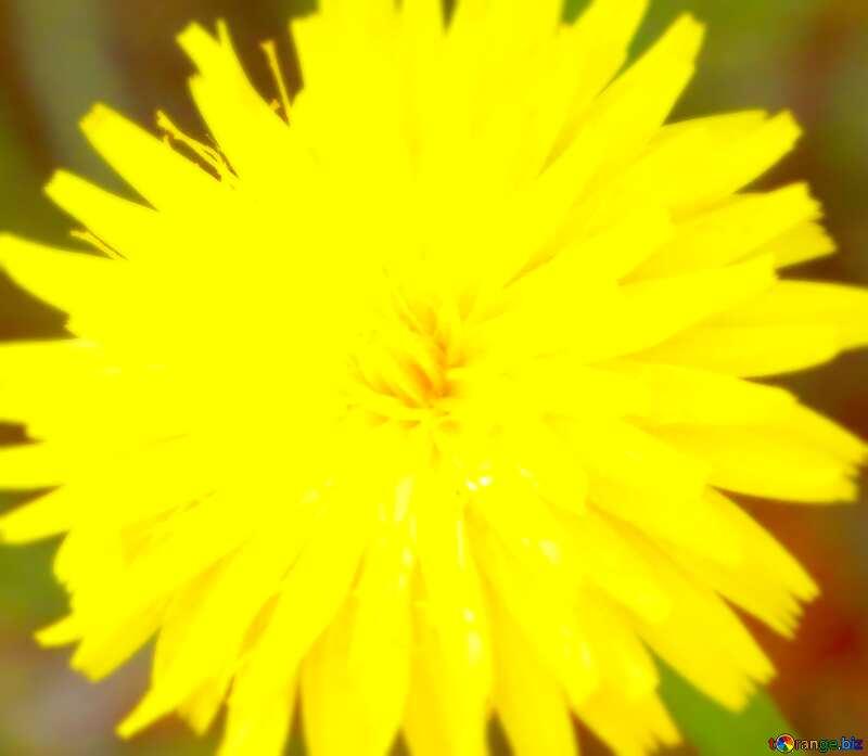 Image for profile picture Dandelion yellow. №23056