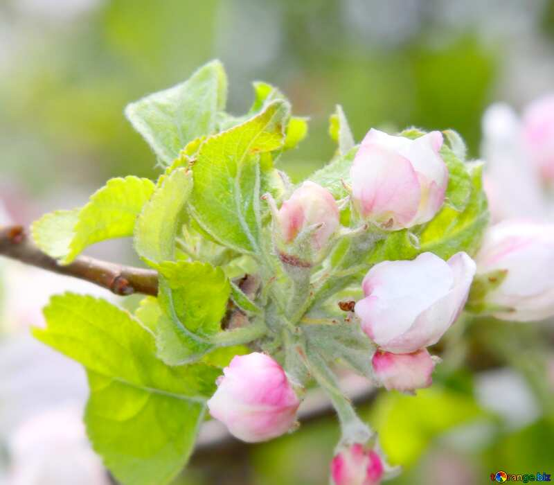 Image for profile picture Sprig blossoming apple. №1818
