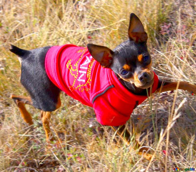 Image for profile picture Toy Terrier in red clothes. №2164