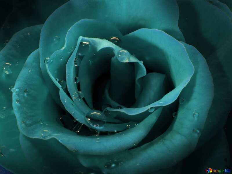Monochrome. Rose on the desktop. №17088