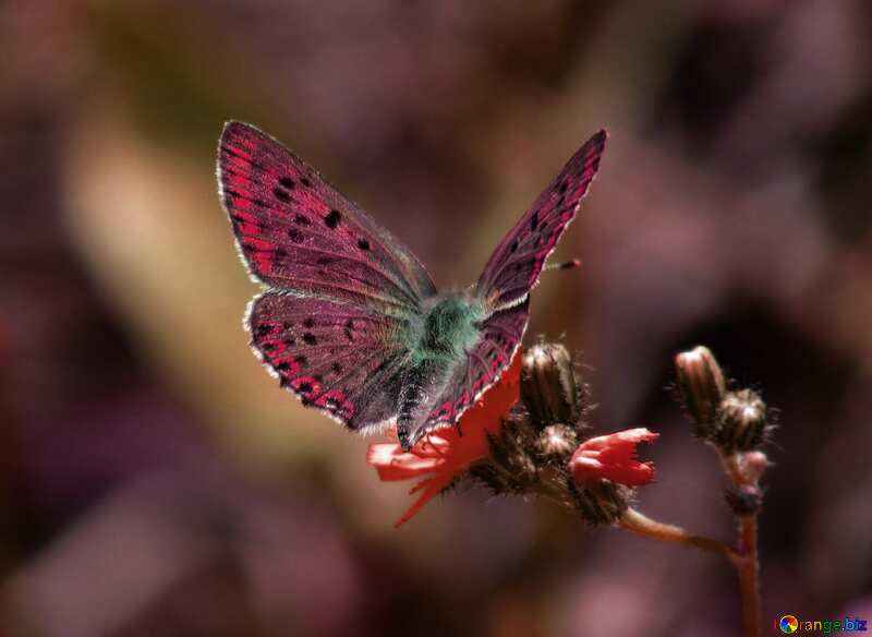 Purple color. Flying butterfly. №25913