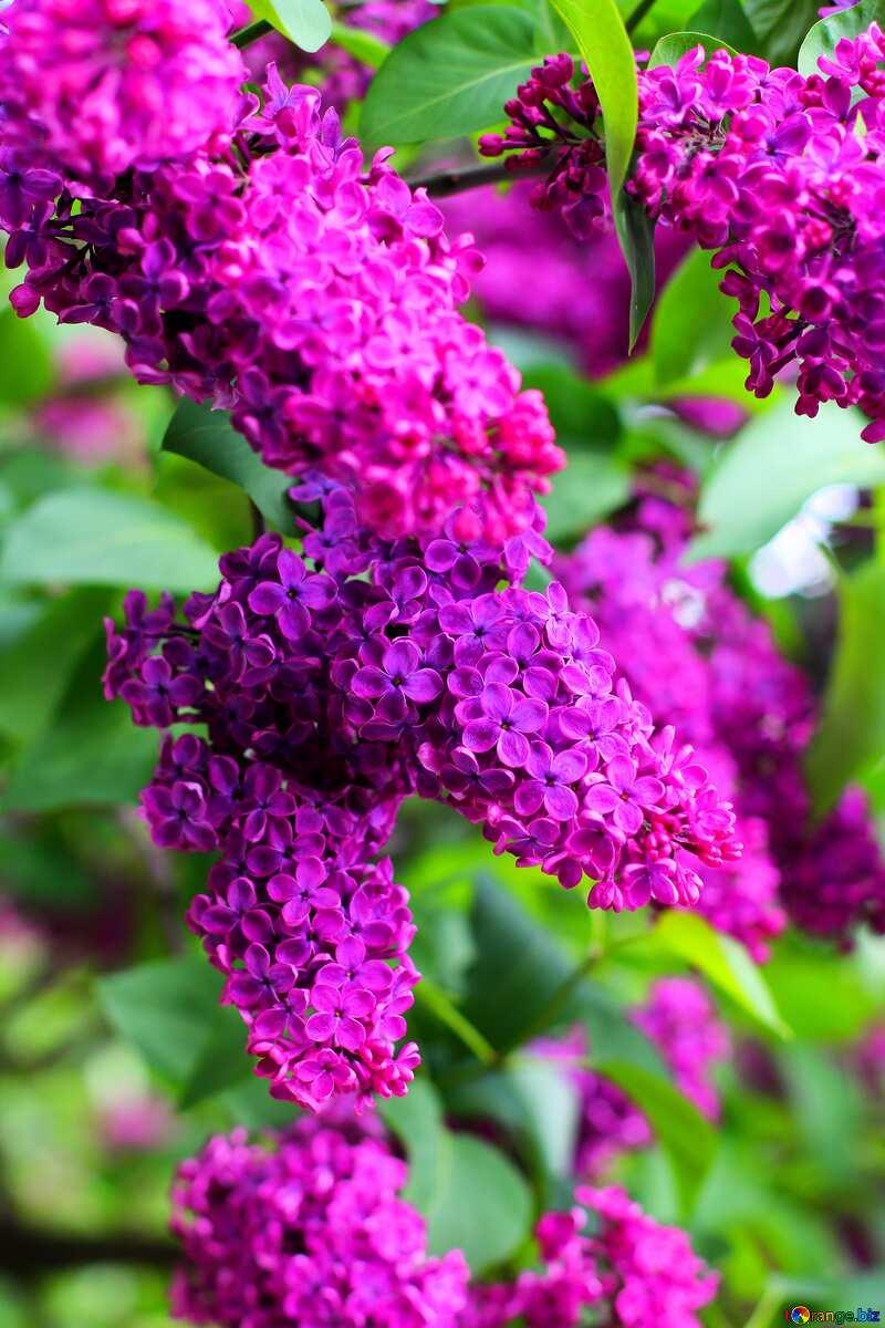 Spring tree  lilacs №37378