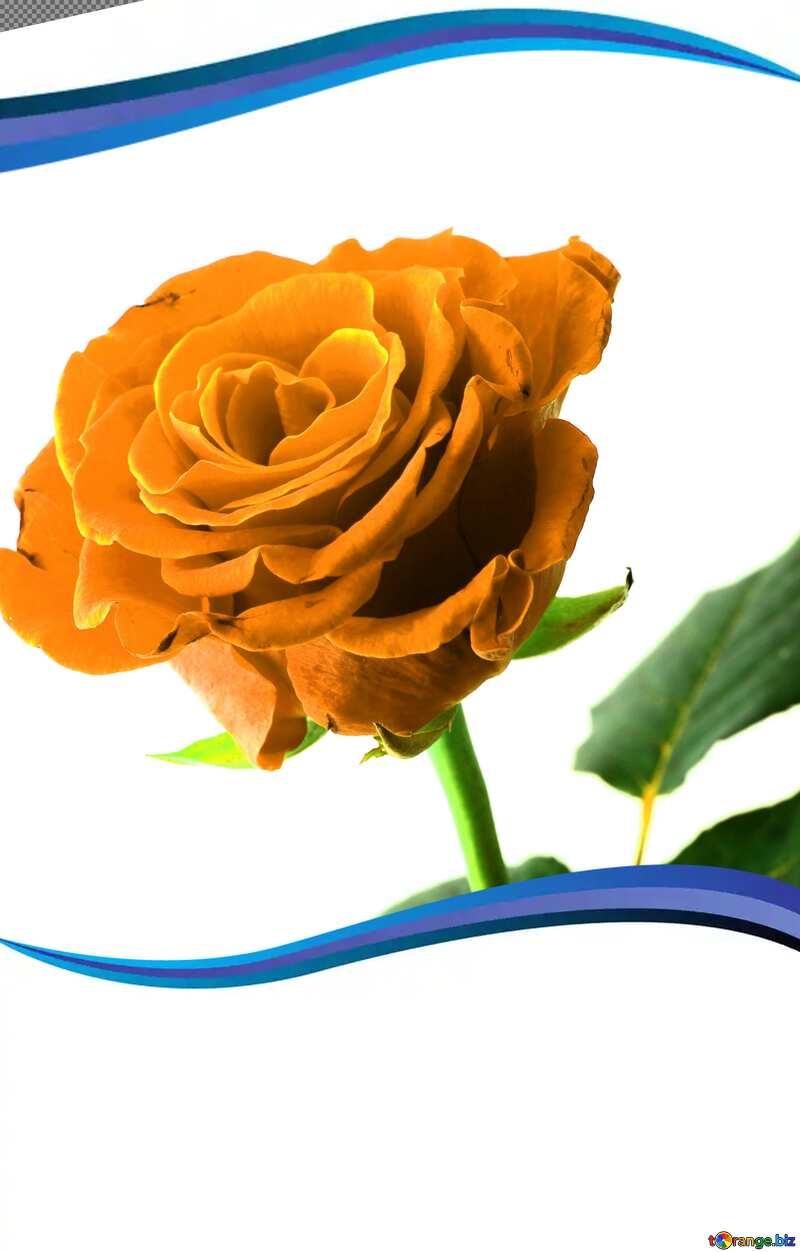 A rose in frame №17043