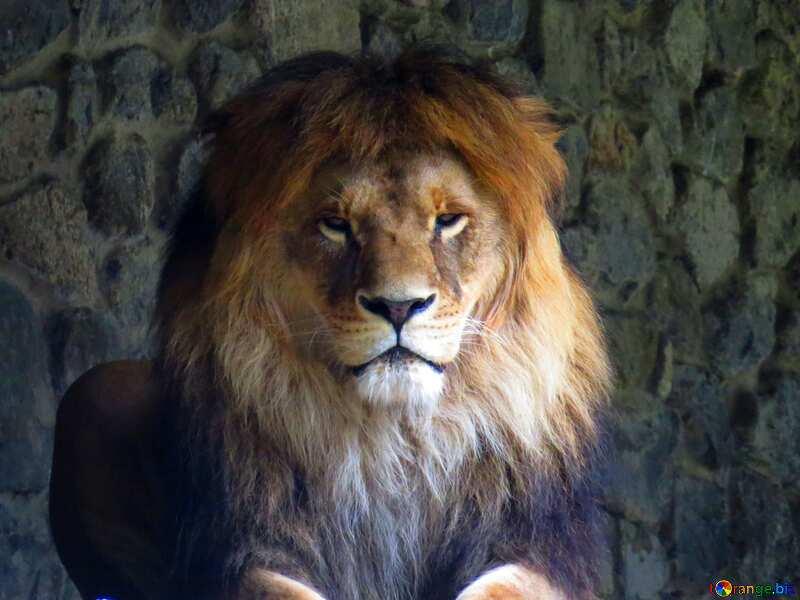 lion template heart №44974
