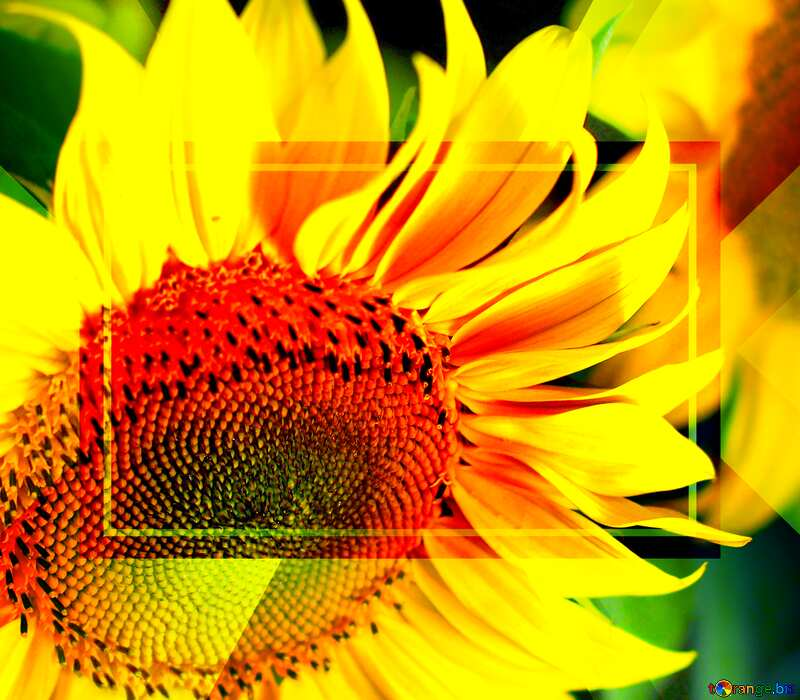 Beautiful flowers of sunflower powerpoint website infographic template banner layout design responsive brochure business №32817