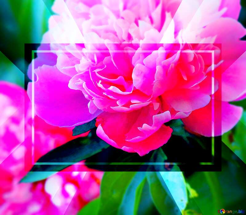 Flowers of peonies frame powerpoint website infographic template banner layout design responsive brochure business №32639