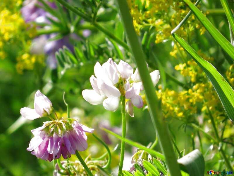 Beige color. Multicolored wild flowers are pea. №34385