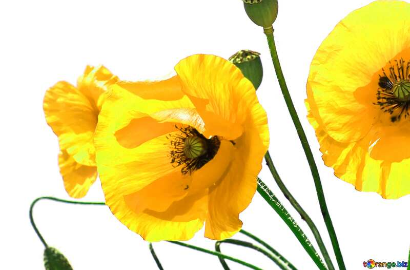 Bouquet of yellow poppies on white background №37135