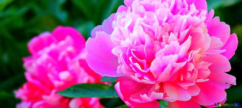 Cover. Flowers of peonies. №32639