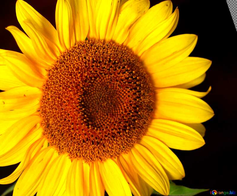 Cover. Sunflower flower on black background. №32797